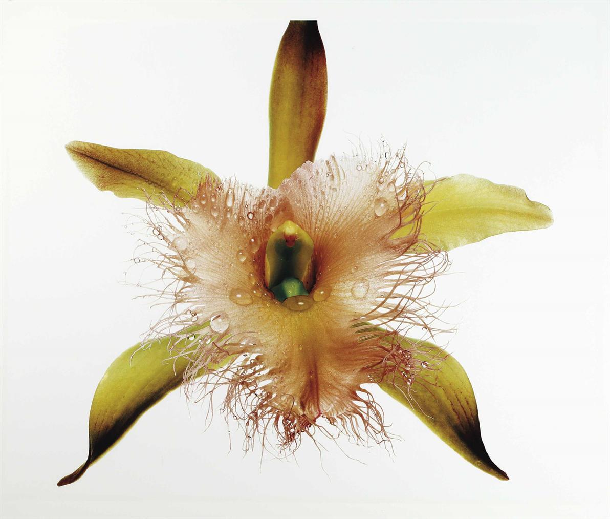 Irving Penn-Orchid, Rhyncholaelia Digbyana, New York-1969