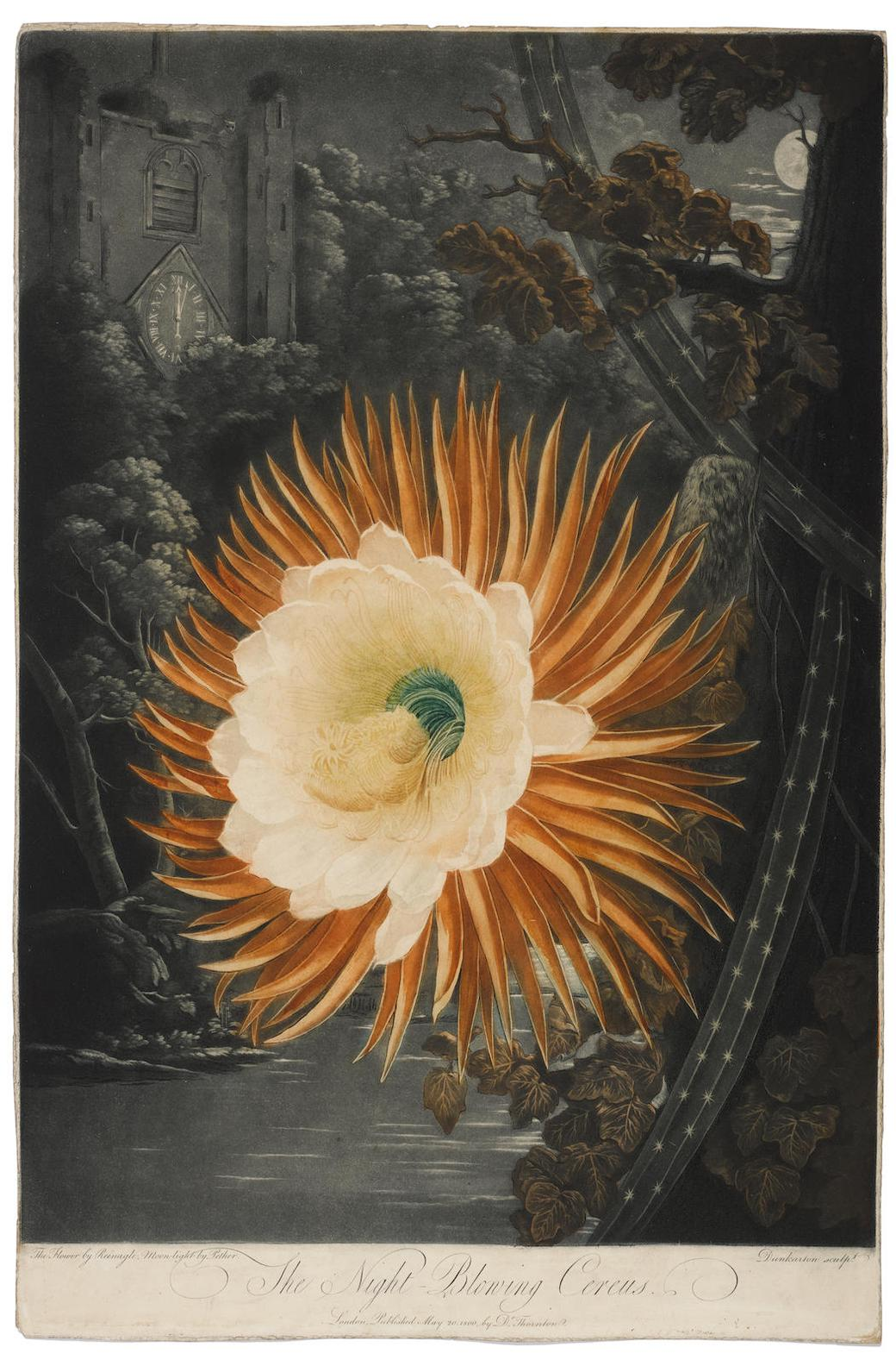 Dr Robert John Thornton-The Night Blooming Cereus, Pl. XIV, From The Temple Of Flora (D. 310, P. 247)-1807