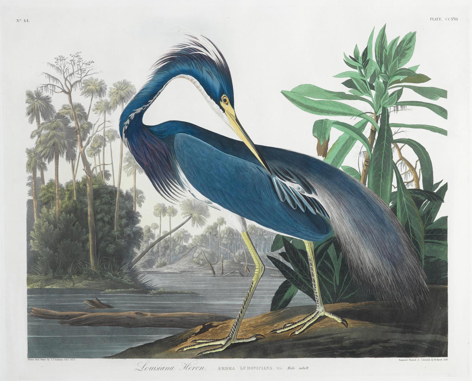 John James Audubon-After John James Audubon - Louisiana Heron (Pl. CCXVII)-1832