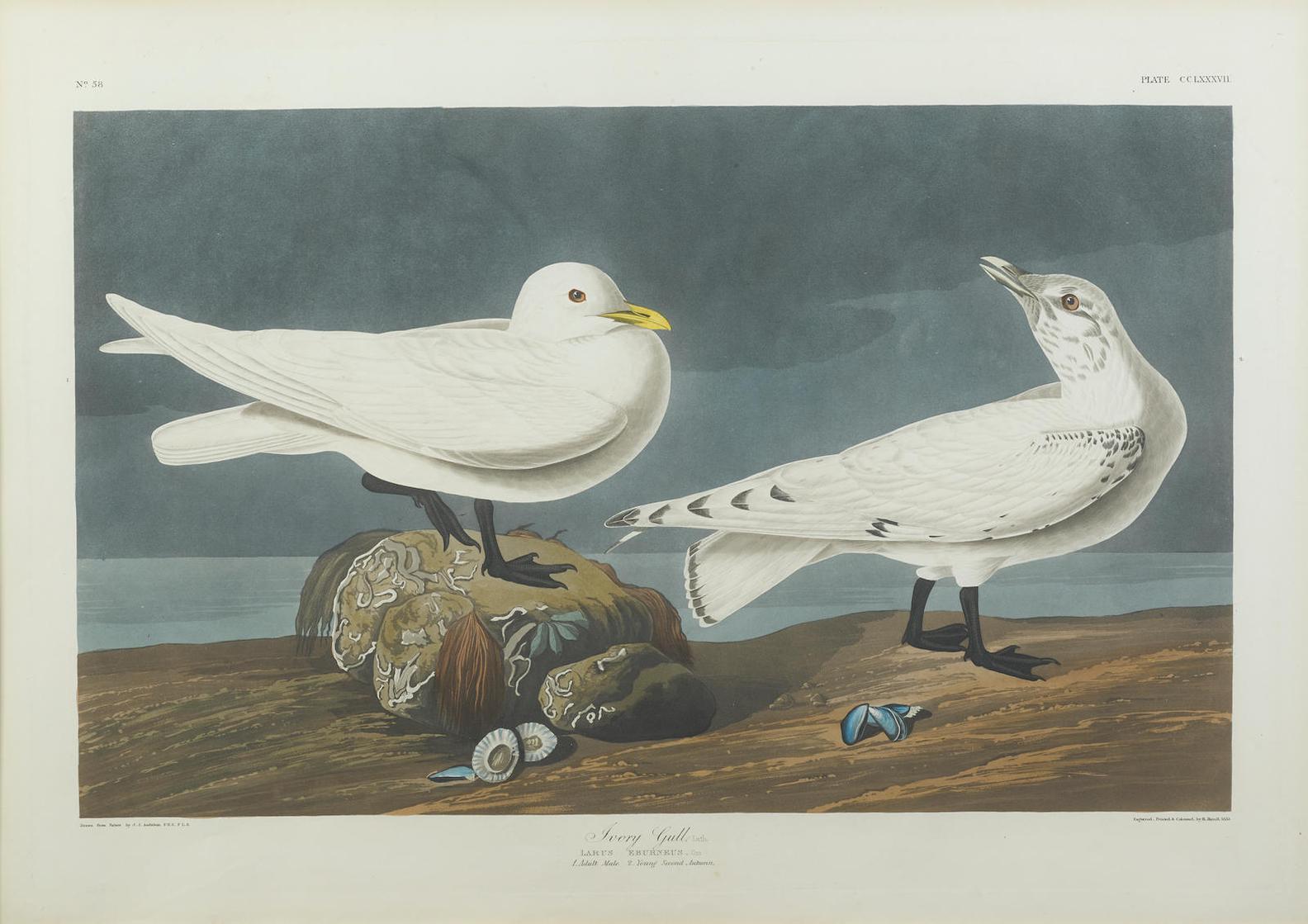 John James Audubon-After John James Audubon - Ivory Gull (Pl. CCLXXXVII); Foolish Guillemot (Pl. CCXVIII); Slender-Billed Guillemot (Pl. CCCCXXX)-1838