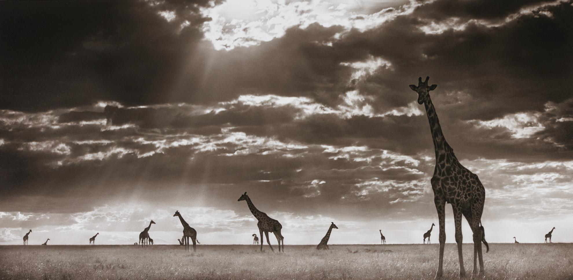 Nick Brandt-Giraffes In Evening Light, Masai Mara-2006