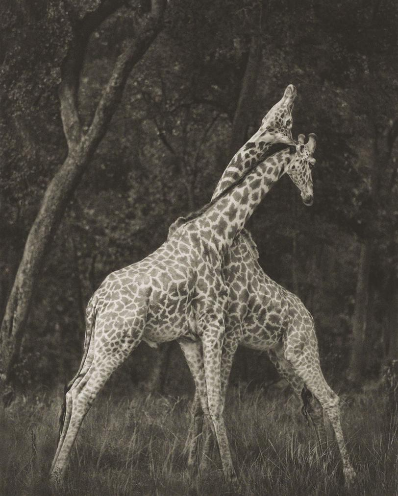 Nick Brandt-Giraffes Battling In Forest, Masai Mara-2008