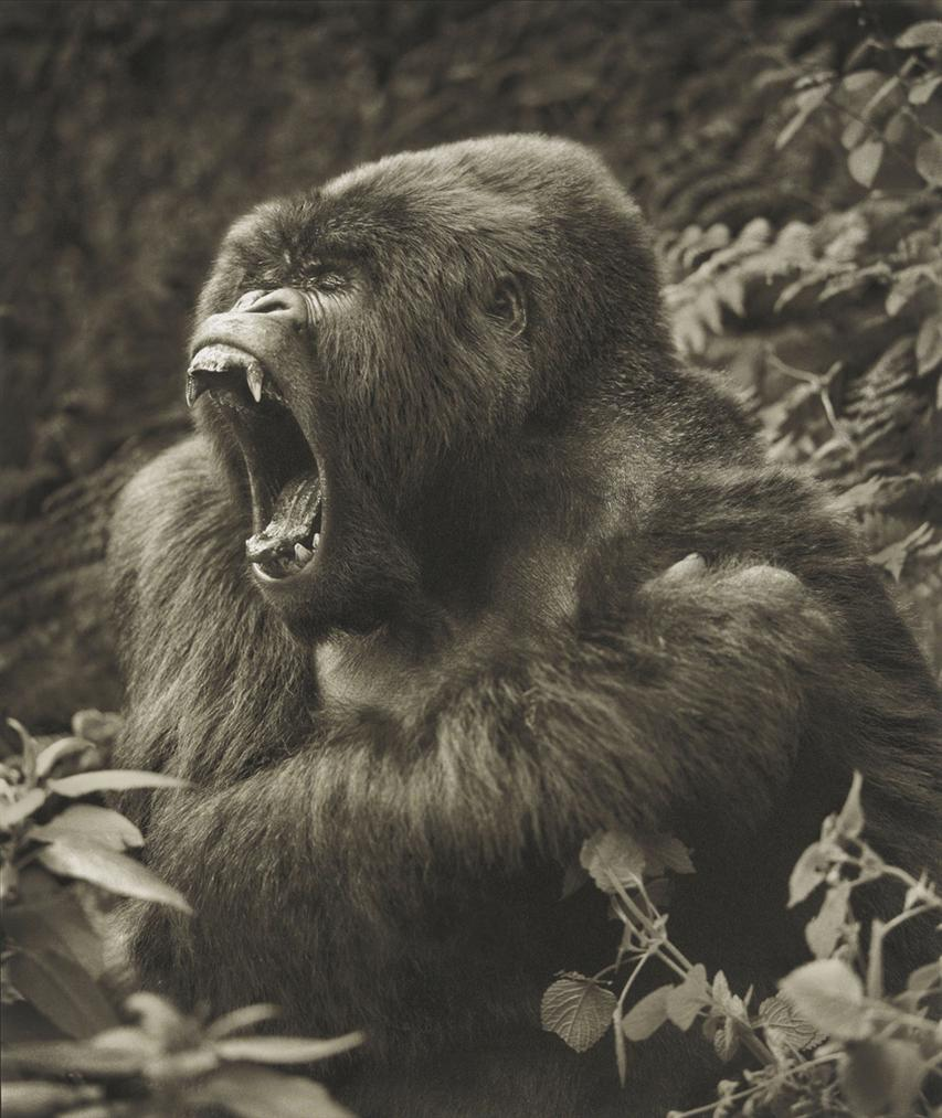 Nick Brandt-Gorilla Baring Teeth, Parc Des Volcans-2008