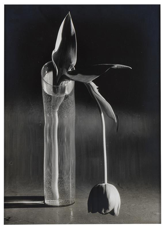 Andre Kertesz-Melancholic Tulip-1939