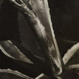 Imogen Cunningham-Agave #2-1928