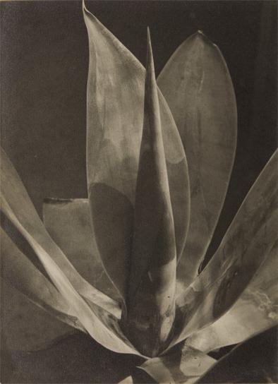 Albert Renger-Patzsch-Agave Ellemeetiana-1929