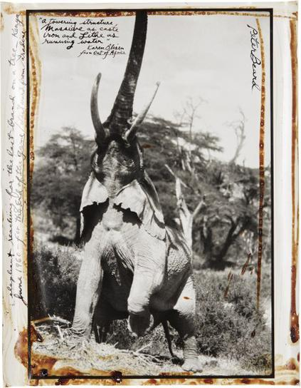 Peter Beard-Elephant Reaching For The Last Branch On A Tree, Kenya-1960