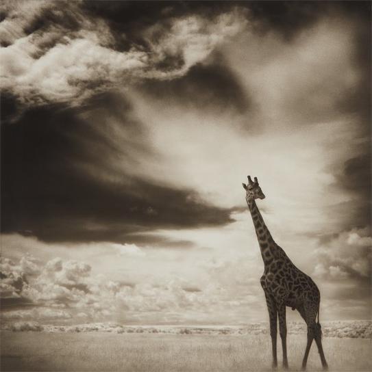 Nick Brandt-Giraffe Under Big Sky, Maasai Mara-2007