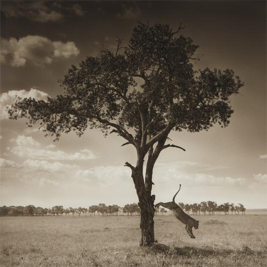 Nick Brandt-Lion Jumping From Tree, Maasai Mara-2008