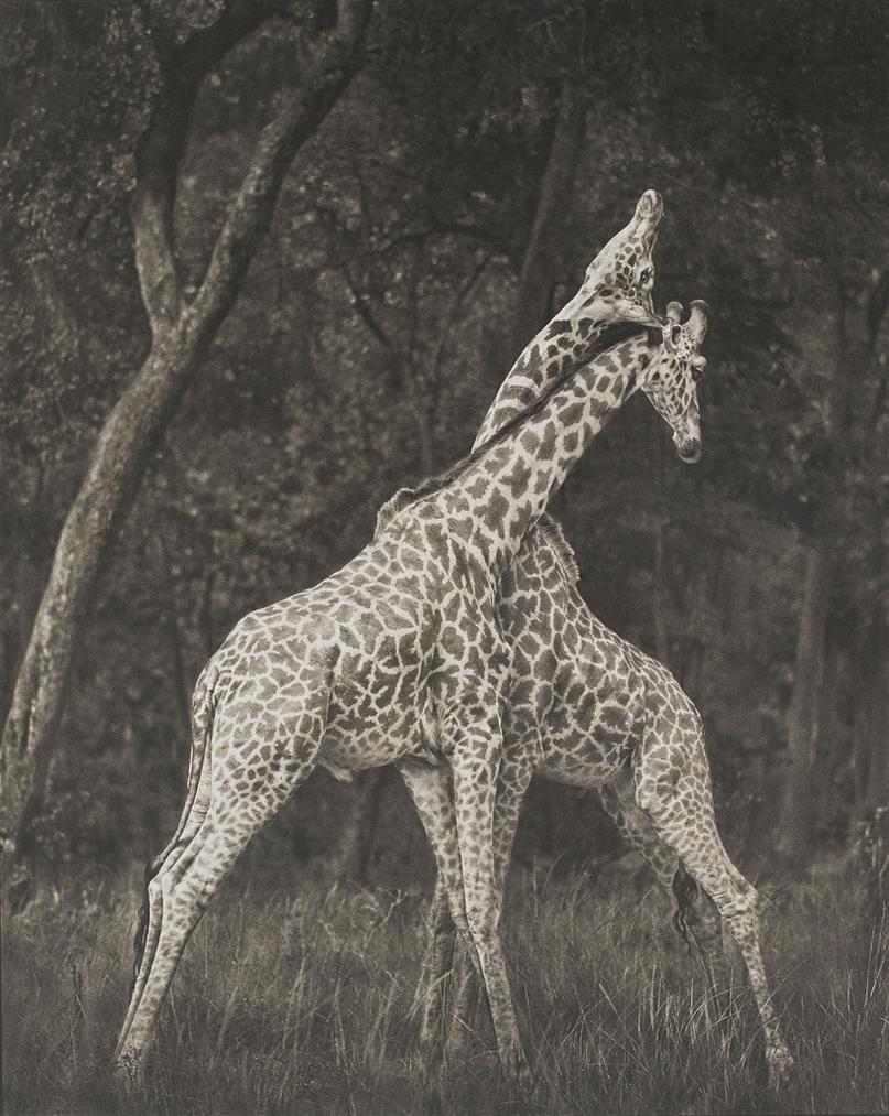 Nick Brandt-Giraffes Battling In Forest, Maasai Mara-2008