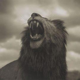 Nick Brandt-Lion Roar, Maasai Mara-2012