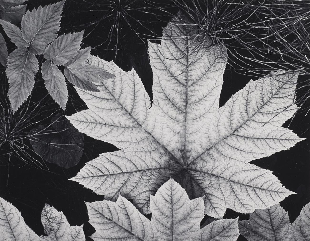 Ansel Adams-Leaf, Glacier Bay National Monument, Alaska-1948