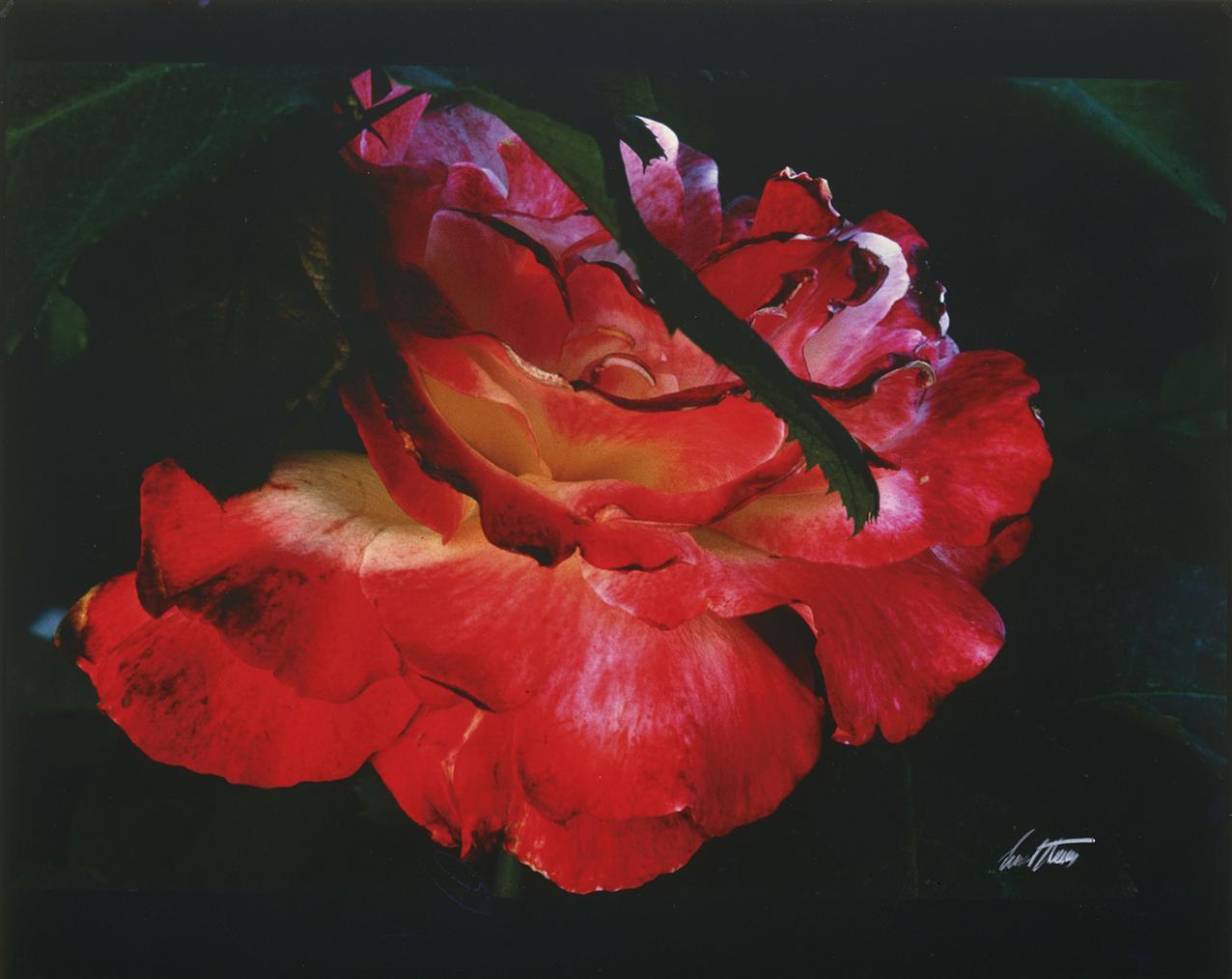 Ernst Haas-Rose, New York-1983