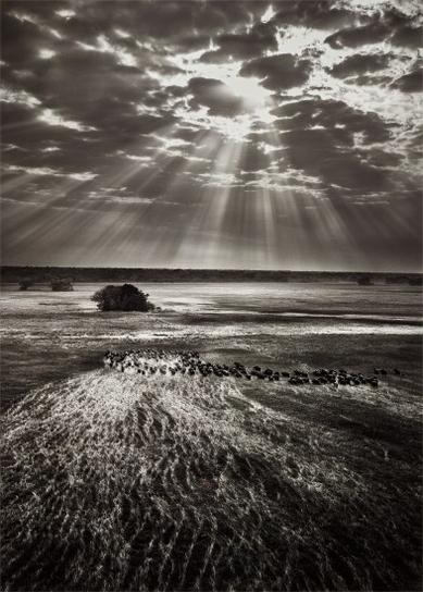 Sebastiao Salgado-Herd Of Buffalo, Kafue National Park, Zambia-2010