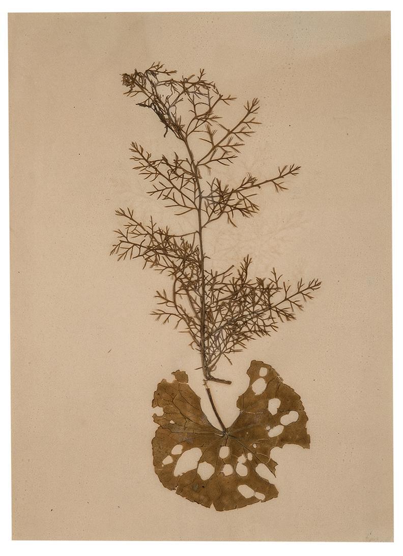 Joseph Stella - Chamomile Sprig And Leaf-