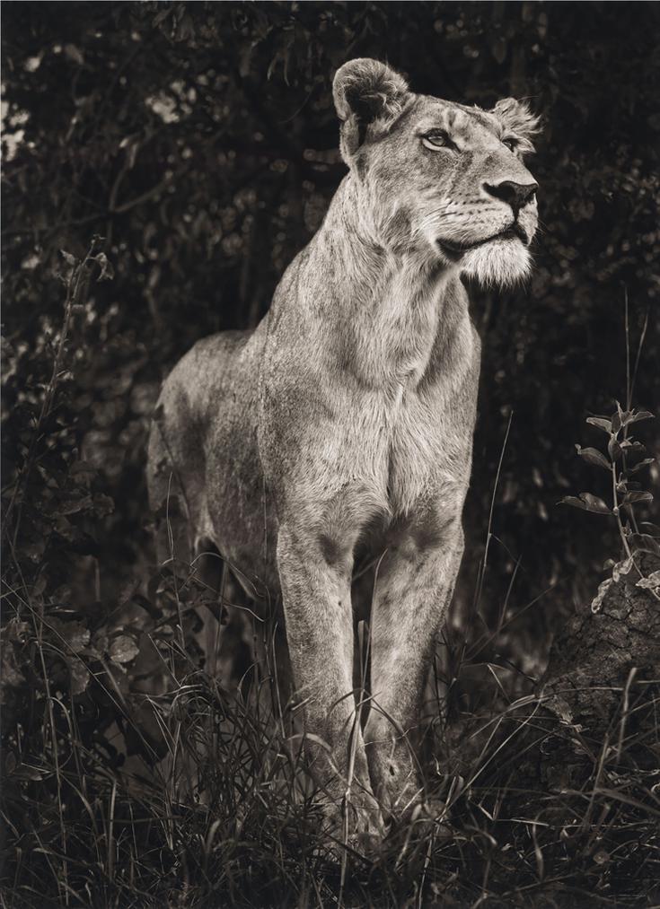 Nick Brandt-Lioness In Dark Foliage-2012