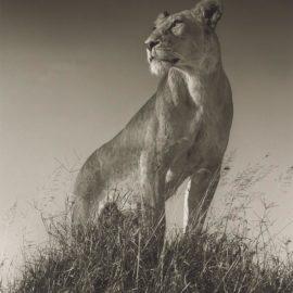 Nick Brandt-Lioness On Mound, Maasai Mara-2012