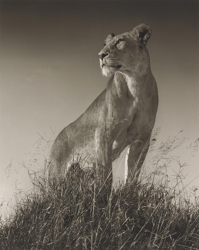Nick Brandt-Lioness On Mound, Maasai Mara-2012