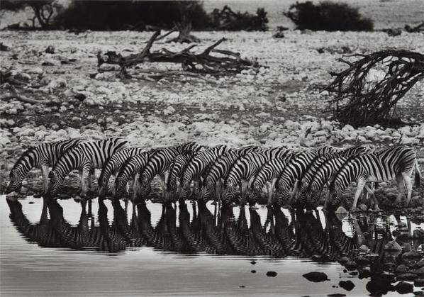 Sebastiao Salgado-Mountain Zebras, Hoanib River Valley, Damaraland, Namibia-2005