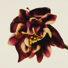Irving Penn-Columbine/Aquilegia Vulgaris: William Guiness, New York-2006