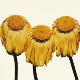 Irving Penn-Gerbera Daisy/Gerbera Jamesonii Husky, New York-2006