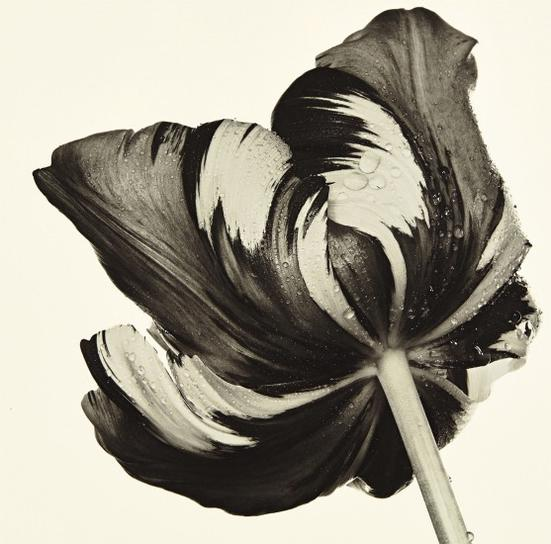 Irving Penn-Cottage Tulip: Sorbet, New York-1967