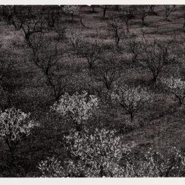 Ansel Adams-Orchard, Portola Valley, California-1940