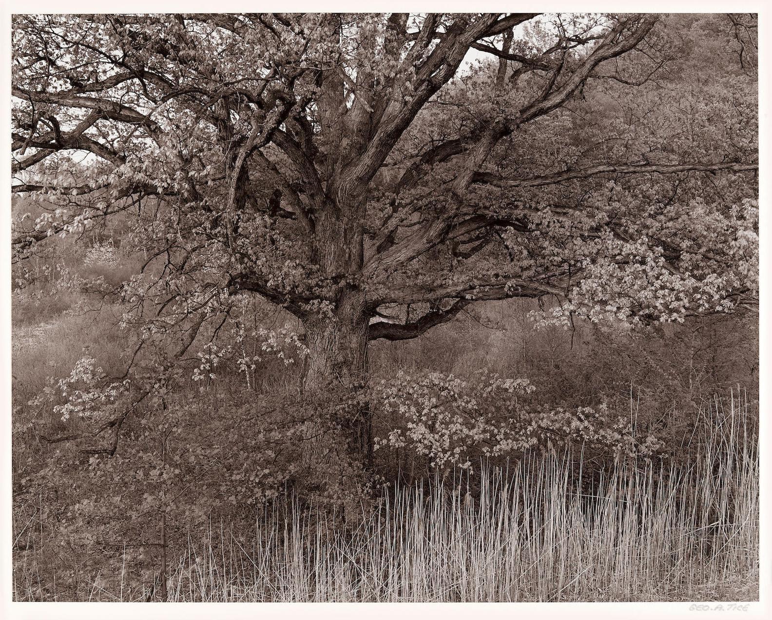 George Tice-Oak Tree, Holmdel, New Jersey-1970