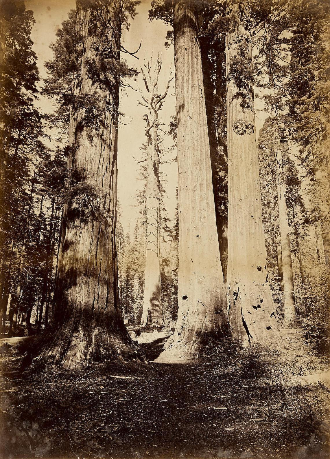 Carleton E. Watkins-Calaveras Grove; And Pine Cones-1881