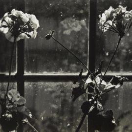 Johan Hagemeyer-White Geraniums-1941