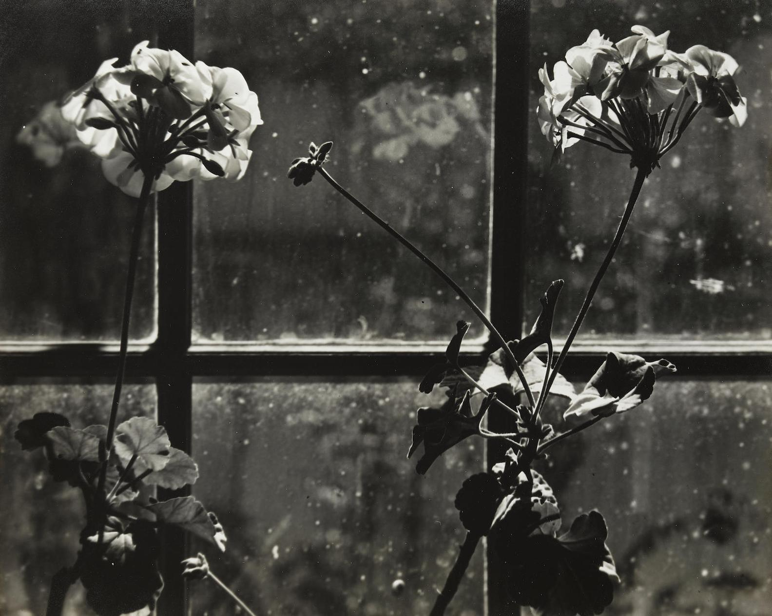 Johan Hagemeyer-White Geraniums-1941