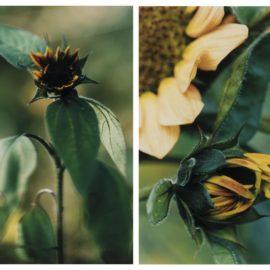 Thomas Struth-(I) Kleine Sonnenblume Mit Schwarzen Kernen - No. 16, Winterthur (Small Sunflower With Black Kernel - N° 16, Winterthur)(Ii) Kleine Geschlossene Sonnenblume - N° 18, Winterthur (Small Closed Sunflower - No. 18, Winterthur)-1992