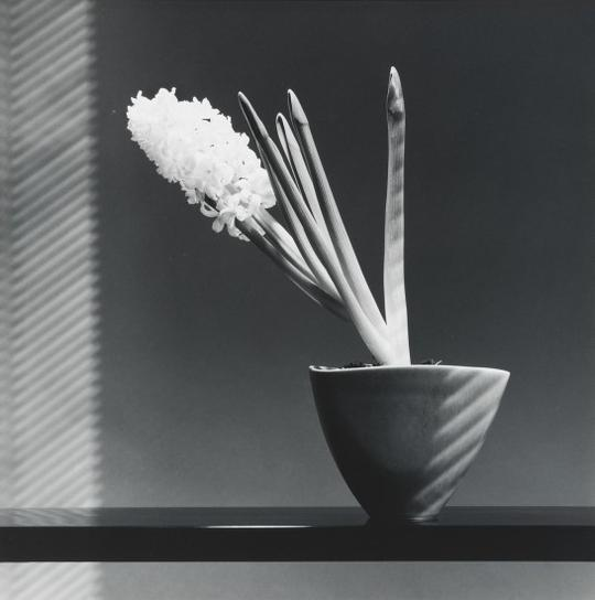 Robert Mapplethorpe-Hyacinth-1986