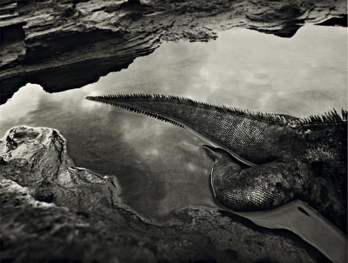 Sebastiao Salgado-Marine Iguana, Galapagos, from Genesis-2004