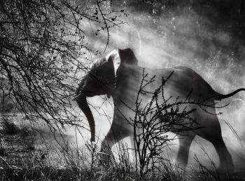 Sebastiao Salgado-Kafue National Park, Zambia (Elephant)-2010