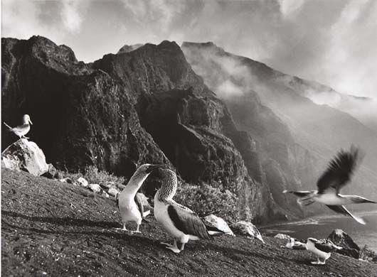 Sebastiao Salgado-Blue Footed Boobies (sula Nebouxi), Roca Vicente, Isabela Island, The Galapagos From Genesis-2004