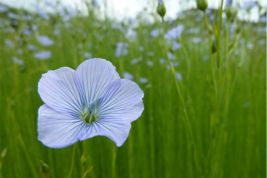 Adran Mundy - Flax flower