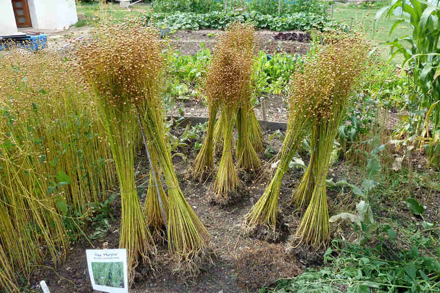 Adran Mundy - Harvesting Flax