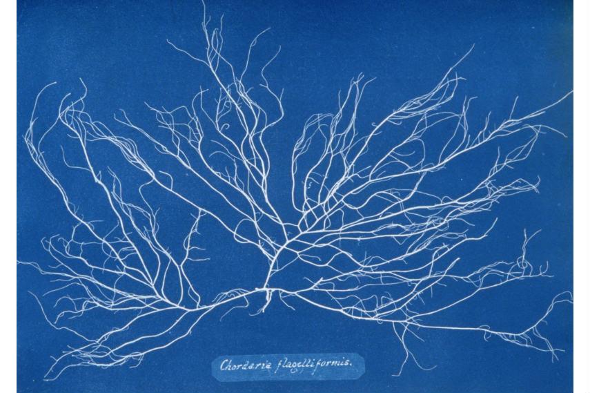 A plant Chordaria flagelliformis photographed by Anna Atkins
