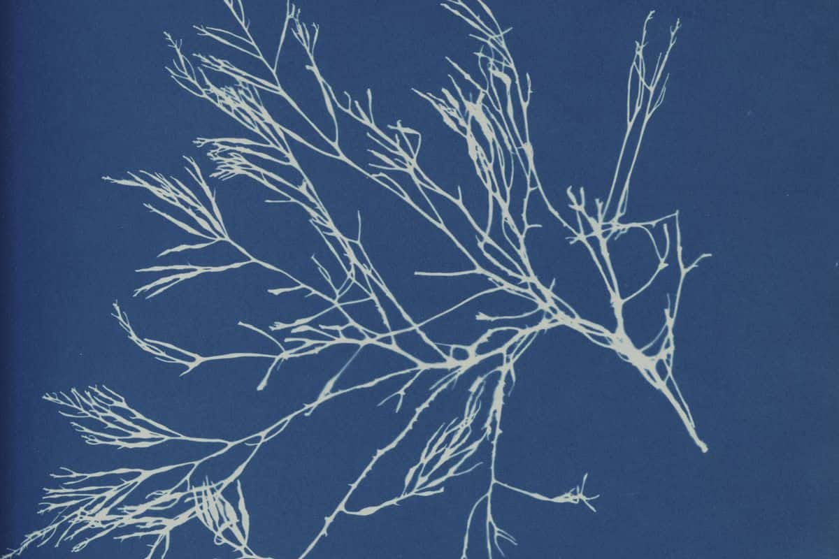 Photographs of British Algae: Anna Atkins Cyanotypes Impressions