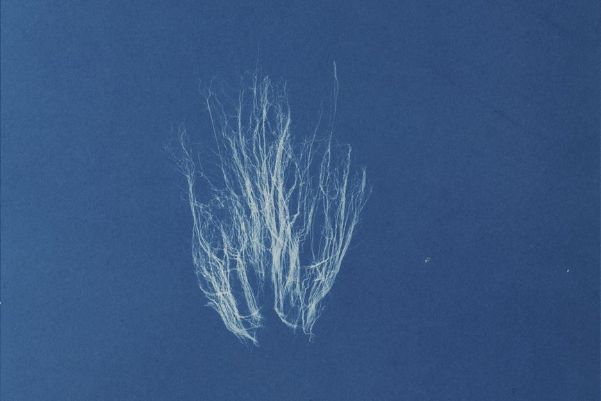 Photographs of British Algae: Cyanotype Impressions by Anna Atkins