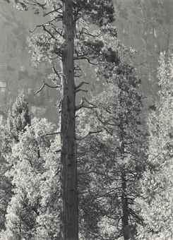 Ansel Adams-Cedar Tree, Cliffs, Yosemite Valley-1939