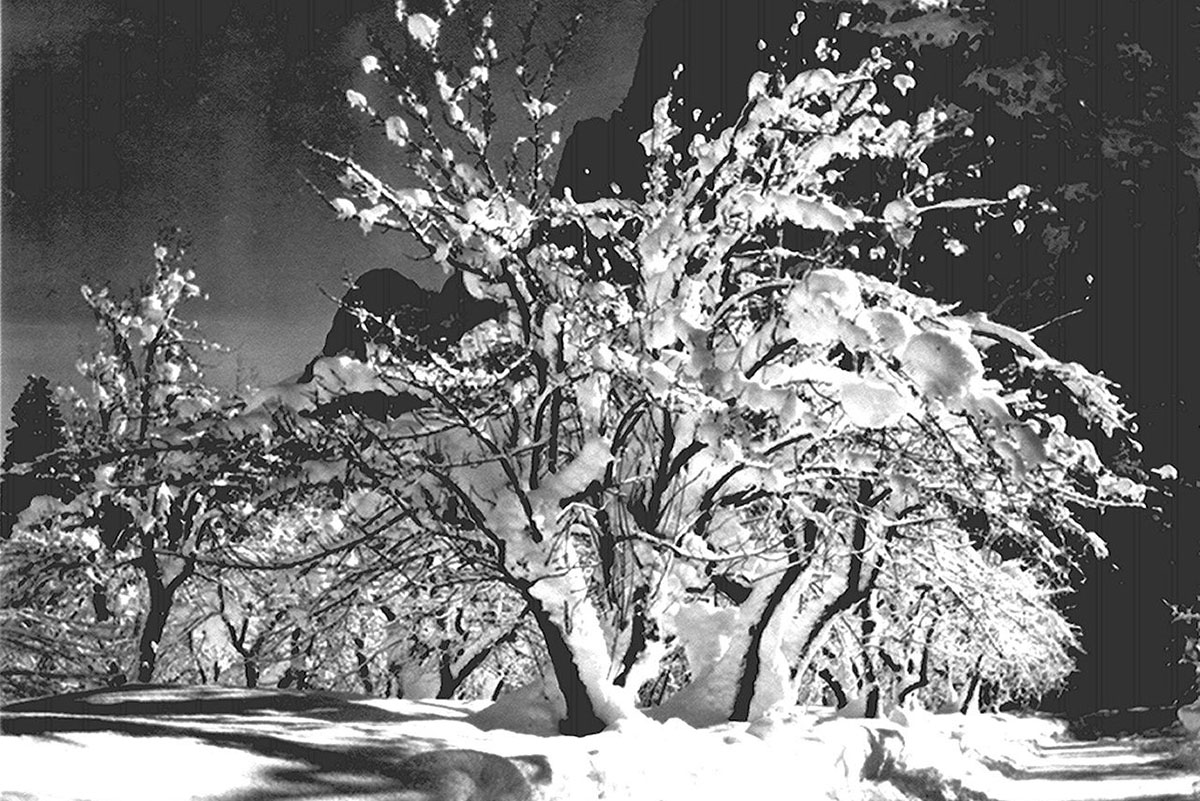 Ansel Adams - Half Dome, Apple Orchard, Yosemite trees with snow on branches, April 1933