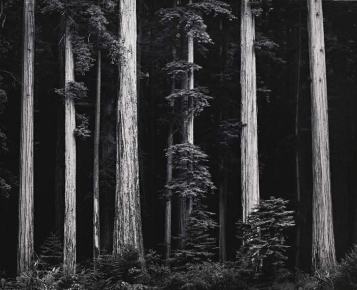 Ansel Adams-Redwoods Bull Creek Flat Northern California-1960
