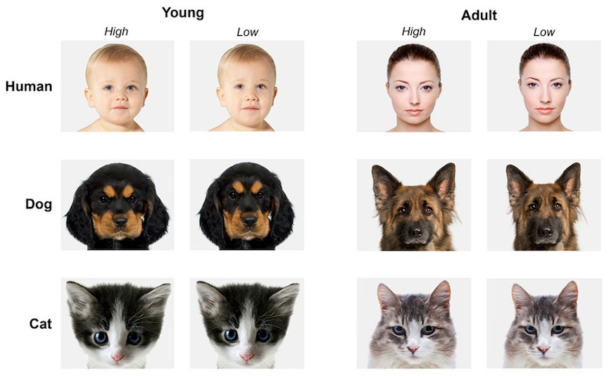 Baby schema in human and animal faces induces cuteness perception - illustration via journal frontiersin org