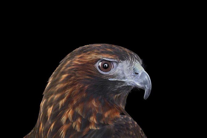 Brad Wilson - Red Tailed Hawk #4, Albuquerque, NM, 2016