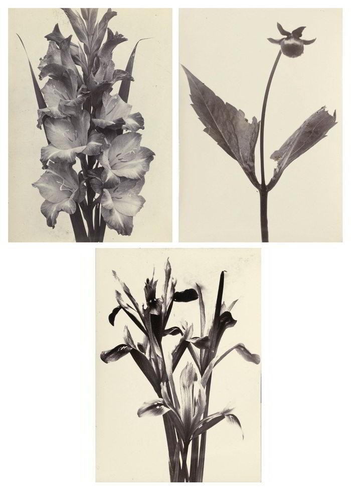 Charles Jones-Selected Botanical Studies ('Gladiolus', 'Iris Reticulata', and 'A Dahlia Shoot After Disbudding')-1900