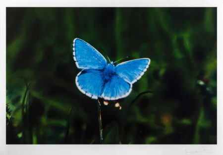 Damien Hirst-Adonis Blue Butterfly-2011