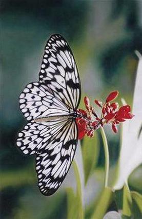 Damien Hirst-Paper Kite Butterfly on Oleander, Love Print-2011