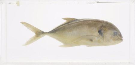 Damien Hirst-Untitled (Fish)-1994